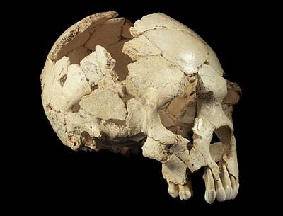Hominin Skull From Sima De Los Huesos Print by Javier Trueba/msf