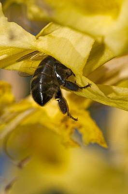 Honeybee Feeding Print by Science Photo Library