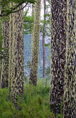 Of Lichen Photograph - Huerquehue National Park, Chile by Scott T. Smith