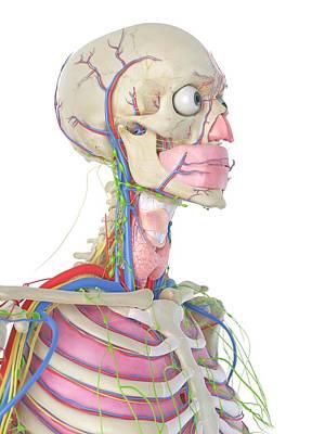 Human Internal Organ Photograph - Human Head by Sciepro