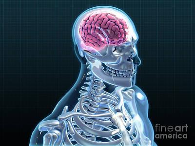 Anatomic Photograph - Human Skeleton And Brain, Artwork by Evan Oto