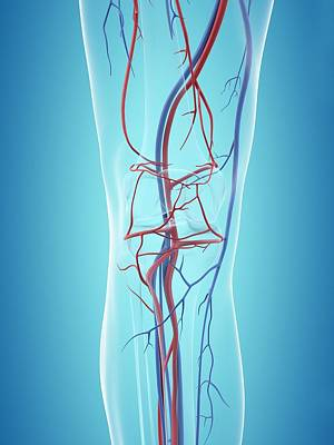 Human Vascular System Print by Sciepro