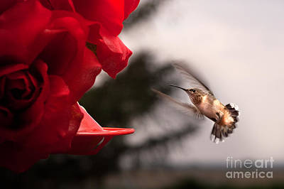 Red Photograph - Hummingbird At Feeder by Cindy Singleton