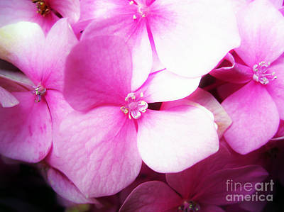 Floral Photograph - Dreamy Pink Hortensia by Nina Ficur Feenan