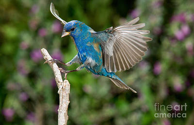 Bunting Photograph - Indigo Bunting by Anthony Mercieca