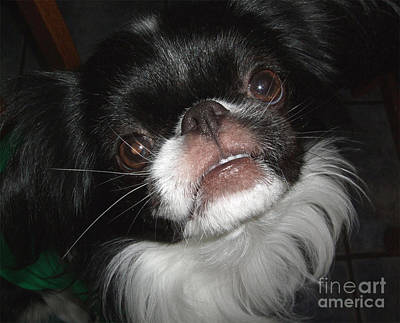 Japanese Chin Photograph - Japanese Chin Dog Portrait by Jim Fitzpatrick