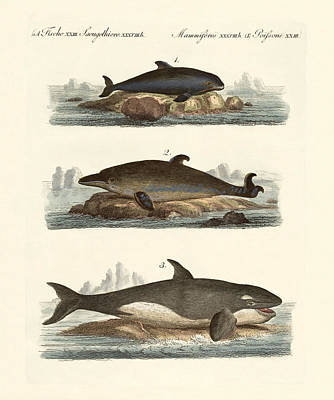Orca Drawing - Kinds Of Whales by Splendid Art Prints