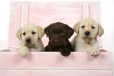 Labrador Retriever Puppies Print by John Daniels