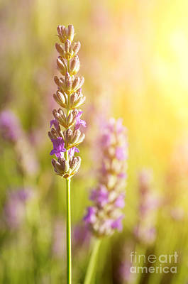 Lavender Flowers Print by Carlos Caetano