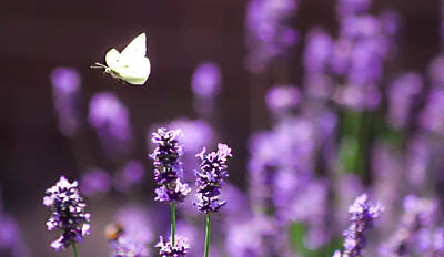 Lilac Lavender Afternoon Print by Catherine Davies