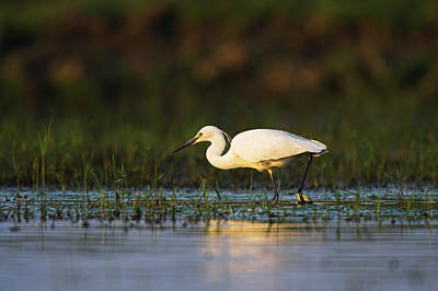 Romania Photograph - Little Egret (egretta Garzetta by Martin Zwick