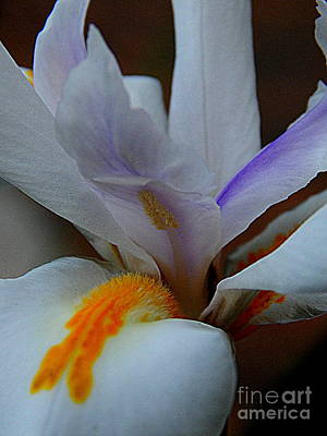 Louisiana Iris Print by Michael Hoard