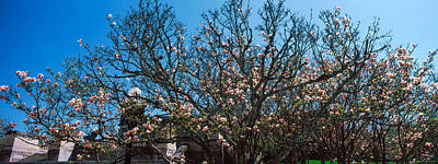 Cherry Blossoms Photograph - Low Angle View Of Cherry Trees by Panoramic Images