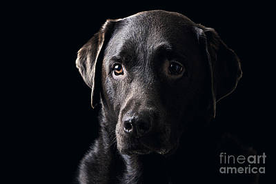 Low Key Chocolate Labrador Print by Justin Paget