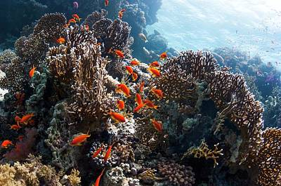 Anthozoa Photograph - Lyretail Anthias On A Reef by Georgette Douwma