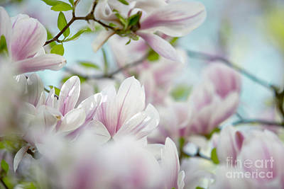 Tree Roses Photograph - Magnolia Flowers by Nailia Schwarz