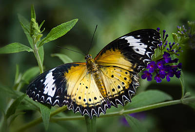 Lacewing Photograph - Malay Lacewing Butterfly  by Saija  Lehtonen