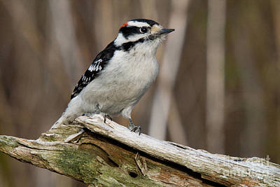 Picoides Villosus Photograph - Male Hairy Woodpecker by Linda Freshwaters Arndt