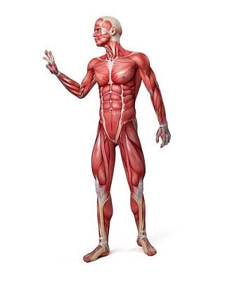 Male Muscular System Print by Sebastian Kaulitzki