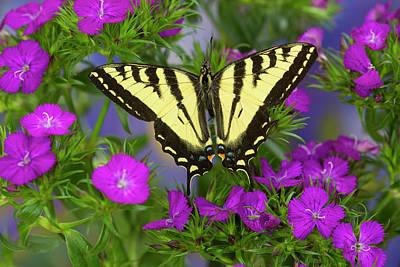 Male Western Tiger Swallowtail Print by Darrell Gulin