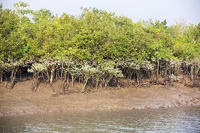 Mangroves In The Sunderbans Print by Ashley Cooper
