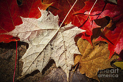 Wet Leaves Photograph - Maple Leaves In Water by Elena Elisseeva