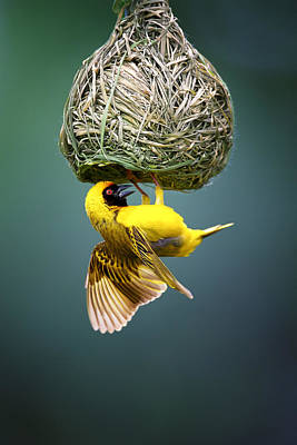 Masked Weaver At Nest Print by Johan Swanepoel