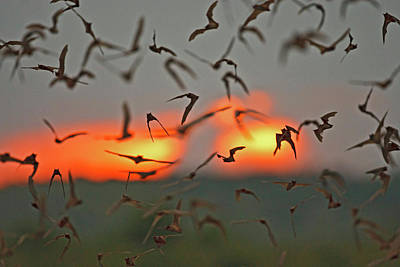 Mexican Free-tailed Bats (tadarida Print by Larry Ditto