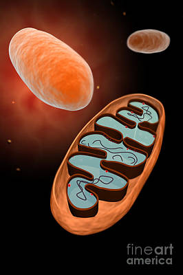 Microscopic View Of Mitochondria Print by Stocktrek Images