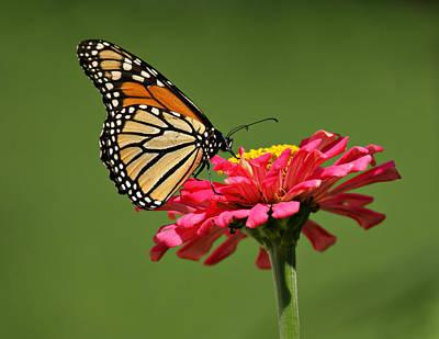 Monarch Butterfly Print by Sandy Keeton