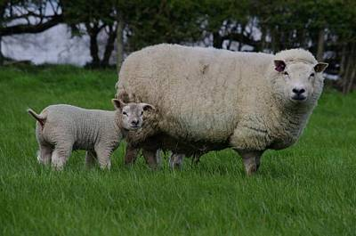 Sheep Photograph - Mothers Love by Lorraine Lumb