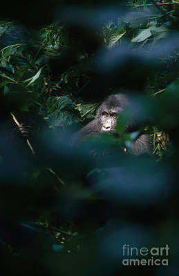Mountain Gorilla Print by Art Wolfe