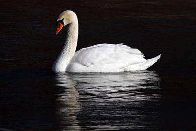 Mute Swan Print by Jim Nelson