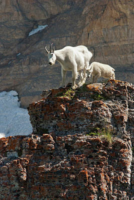 Nanny Mountain Goat And Kid, Oreamnos Print by Howie Garber