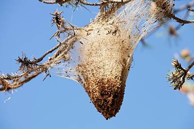 Caterpillar Photograph - Nests Of Pine Processionary Caterpillar by Ashley Cooper