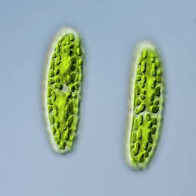 Netrium Oblongum Green Algae Print by Gerd Guenther
