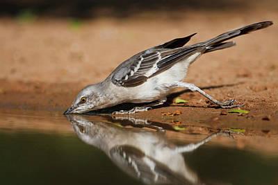 Mockingbird Photograph - Northern Mockingbird (mimus Polyglottos by Larry Ditto