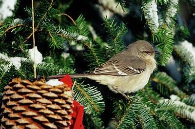 Fir Trees Photograph - Northern Mockingbird (mimus Polyglottos by Richard and Susan Day