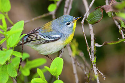 Ditto Photograph - Northern Parula (parula Americana by Larry Ditto
