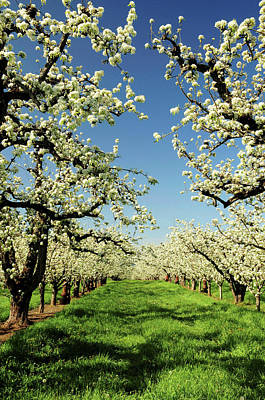 Peach Blossoms, Hood River, Oregon, Usa Print by Michel Hersen