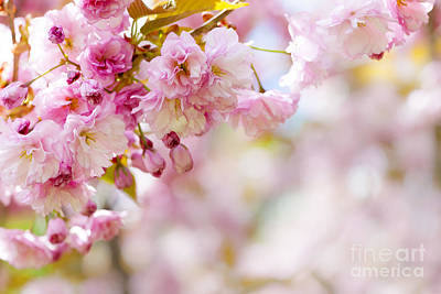 Pink Flower Branch Photograph - Pink Cherry Blossoms  by Elena Elisseeva
