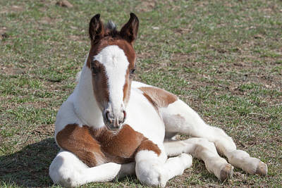 Pinto Oldenburg Warmblood Foal Print by Piperanne Worcester
