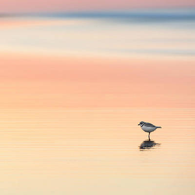 Square Photograph - Piping Plover Square by Bill Wakeley