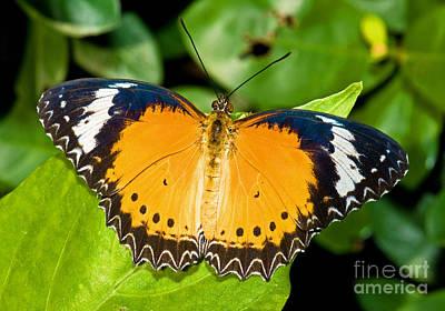 Plain Tiger Butterfly Print by Millard H. Sharp