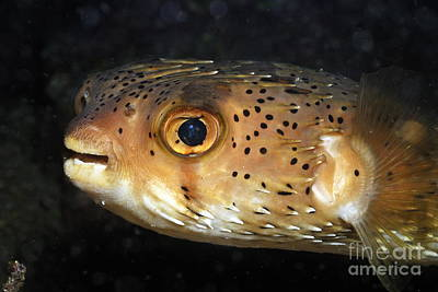 Porcupine Fish Photograph - Porcupine Fish by Sami Sarkis