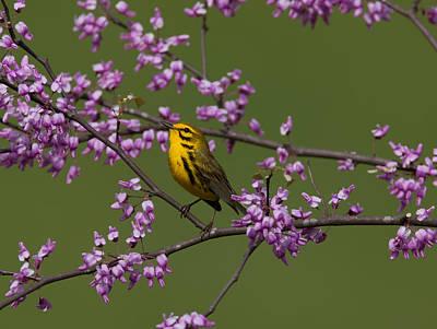 Warbler Digital Art - Prairie Warbler by William Norton