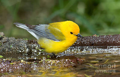 Warbler Photograph - Prothonotary Warbler by Anthony Mercieca