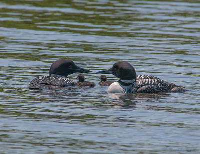 Loon Photograph - Proud Parents by Brenda Jacobs