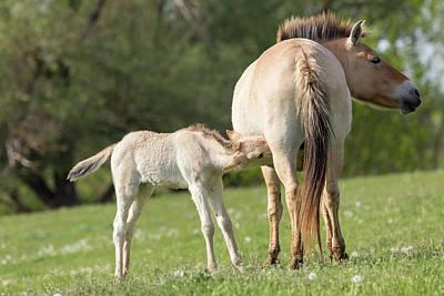 Przewalskis Horse Or Takhi (equus Ferus Print by Martin Zwick