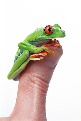 Positive Attitude Photograph - Red-eyed Tree Frog Agalychnis Callidryas by Corey Hochachka